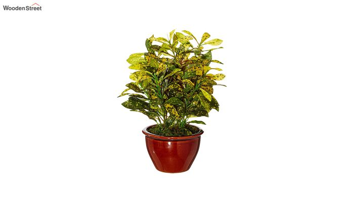 Artificial Bonsai Croton Plant with Ceramic Pot-2