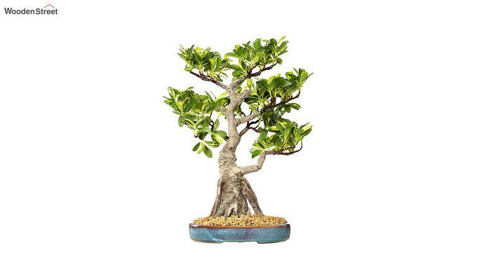 Artificial Schefflera Bonsai Plant With Pot-2