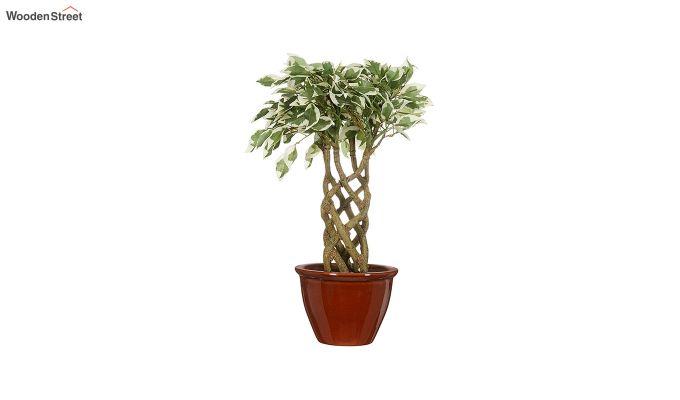 Bonsai Ficus Plant with Pot-1