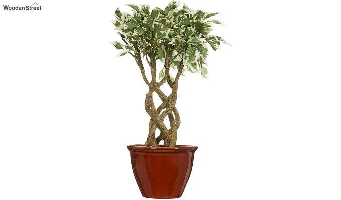 Bonsai Ficus Plant with Pot-2