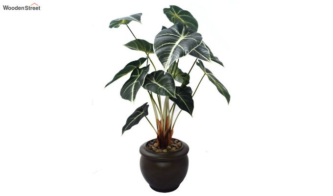 Green Caladium Plant In Ceramic Pot-2