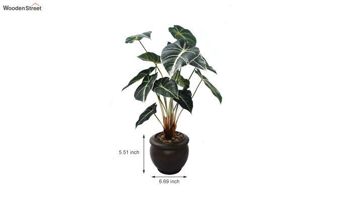 Green Caladium Plant In Ceramic Pot-3