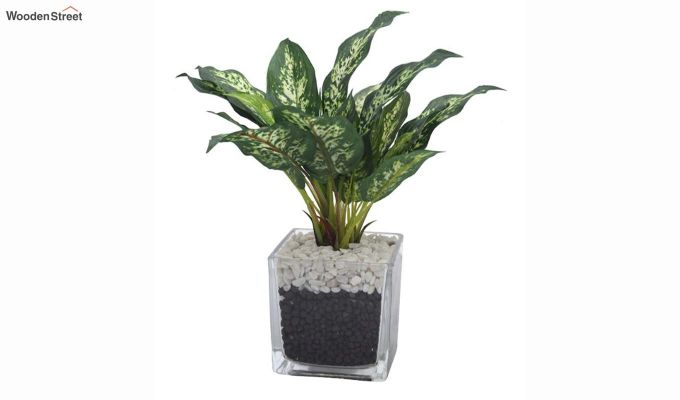 Dieffenbachia Plant in Glass Vase-2