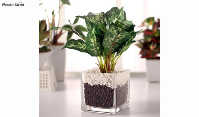 Dieffenbachia Plant in Glass Vase-1